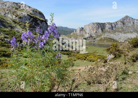 Eisenhut (Aconitum napellus) Blühende auf montane Weideland über See Ercina, Seen von Covadonga, Picos de Europa, Asturien, Spanien, August. Stockbild
