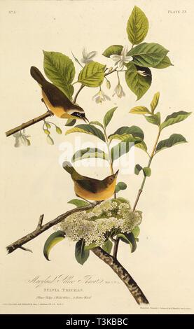 """Die Maryland Yellowthroat. Von """"Die Vögel Amerikas"""", 1827-1838. Private Sammlung. Stockbild"""