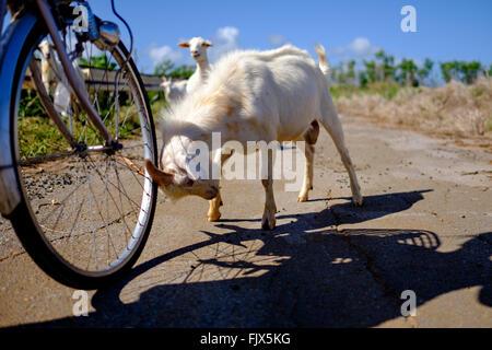 Ziege Kollision mit Fahrrad auf Straße Stockbild