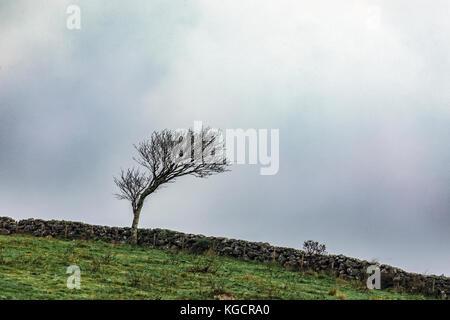Windswept Baum in Dartmoor Stockbild