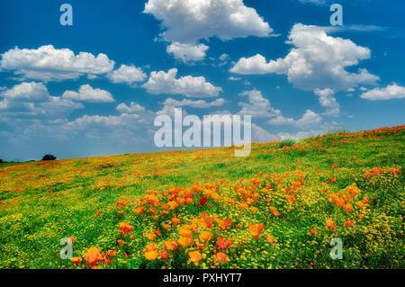 California Poppies (Eshscholtzia californica) Goldenfields (Lasthenia californica). In der Nähe von Lancaster, Kalifornien Stockbild