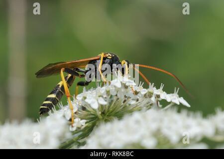 Männliche Ichneumon Wasp (Diphyus mercatorius) Einziehen auf wilde Möhre/Queen Anne's Lace (Daucus carota) Blumen, Lesbos/Lesbos, Griechenland, Juni. Stockbild