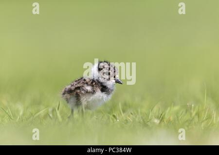 Northern Kiebitz (Vanellus vanellus) Chick, stehend auf beweidung Marsh, Suffolk, England, UK, Mai Stockbild