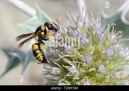 Potter Wasp (Euodynerus variegatus) Fütterung auf Sea Holly Blumen (Eryngium maritimum) auf einem Strand, Sardinien, Italien, Juni. Stockbild