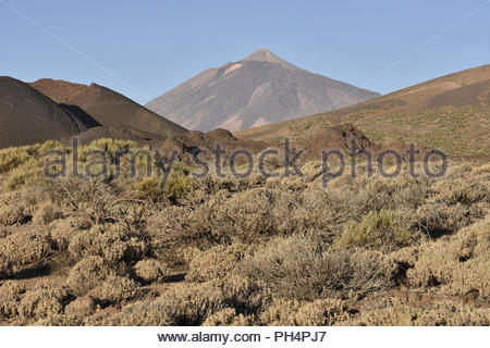 Zwergsträucher wachsen in der vulkanischen Landschaft von La Guancha, den Teide 3718 m hohen Vulkan im Hintergrund. Nationalpark Teide Teneriffa Kanarische Inseln Spanien. Stockbild