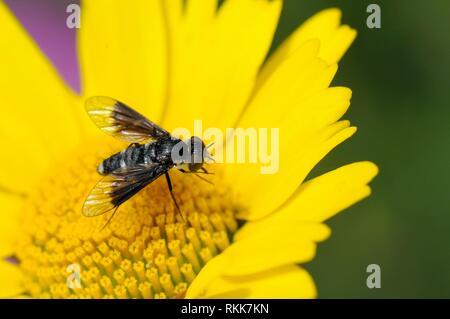 Bienen fliegen (Chalcochiton holosericea) Nahrungssuche auf Krone Daisy (Chrysanthemum coronarium), Korsika, Frankreich, Mai. Stockbild