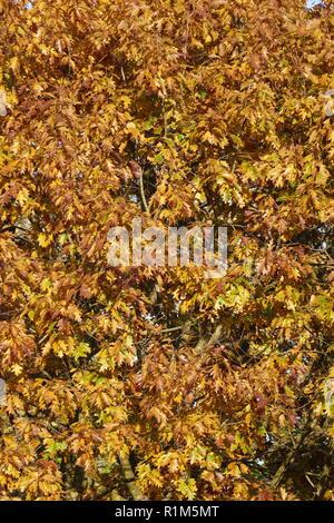 Gelb verfärbt Eichenlaub auf Ästen, Deutschland, Europa ich gelb verfärbte Eichenblätter eine Ästen, Deutschland, Europa I Stockbild