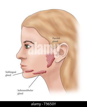 Abbildung: Lage der Speicheldrüsen in einem weiblichen Profil. Stockbild