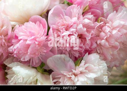 Botanik, Deco mit Pfingstrose Blüten, Vorsicht! Für Greetingcard-Use/Postcard-Use in deutschsprachigen Ländern gibt es einige Einschränkungen Stockbild