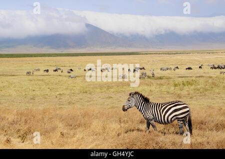 Zoologie/Tiere, Säugetiere (Mammalia), Zebras (Equus quagga) über die bewölkten Seite der Ngorongoro Stockbild