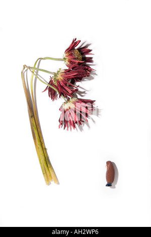 Rote Blumen auf weißem Hintergrund mit menschlichen Miniatur, Studio gedreht Stockbild