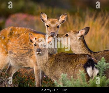 SIKA Hirsch Cervus Nippon A Kalb ist liebevoll gepflegt von seiner Mutter und einem Sub Erwachsenen Dorset, UK Stockbild