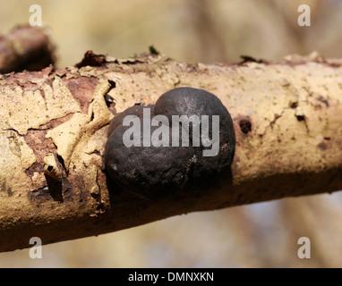 König Alfred Kuchen aka Krampf Kugeln, Daldinia Concentrica, Xylariaceae Stockbild