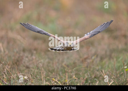 Turmfalke (Falco tinnunculus) erwachsenen männlichen, Fliegen, Suffolk, England, November, Gegenstand gesteuert Stockbild