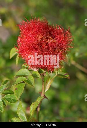 Bedeguar Gall Hundsrose verursacht durch die moosigen Rose Gall Schlupfwespe, Diplolepis Rosae, Cynipoidea, Hymenoptera. Stockbild