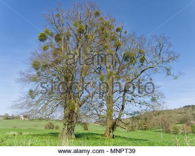 Bäume mit misteln Stockbild