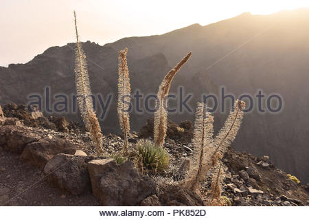 Buglos Pflanzen - Echium wildpretii (unterart trichosiphon) in Höhenlage von Caldera de Taburiente National Park La Palma Kanarische Inseln wächst. Stockbild