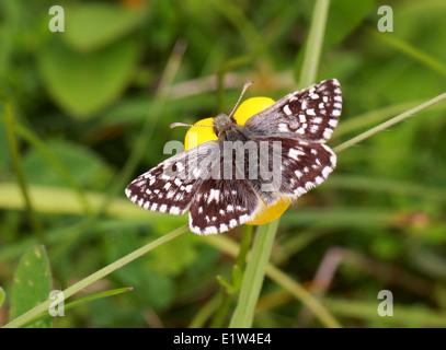 Grizzled Skipper, Pyrgus Malvae, Pyrginae, Hesperiidae, Lepidoptera. Männlich. Mai, Kreide Downs, Bedfordshire, Stockbild