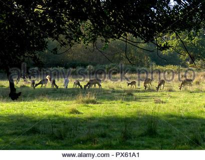 Rehe grasen in New Forest Hampshire UK Stockbild