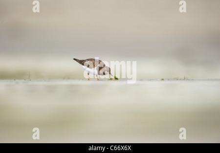 Steinwälzer Arenaria Interpres Profil eines Erwachsenen auf Futtersuche auf einem einsamen Strand Shetland Stockbild