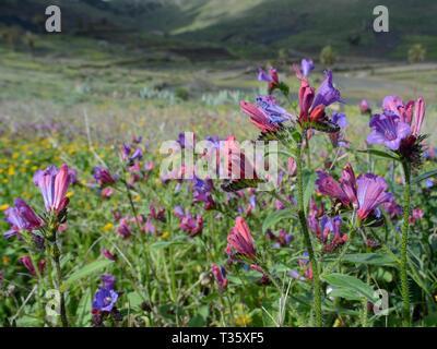 Lanzarote (bugloss Natternkopf lanzarottense/lancerottense), eine endemische Art auf die Insel, Blüte, in der Nähe von Haria, Lanzarote, Kanarische Inseln, Februar Stockbild
