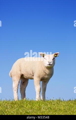 Eine niedliche kleine Lammfleisch von Texel in den Rasen auf der Insel Texel in den Niederlanden an einem sonnigen Stockbild