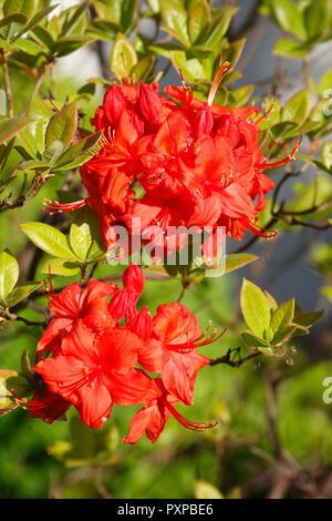 Rot-orange Blossom, Rhododendron (Rhododendron), Bremen, Deutschland, Europa Stockbild