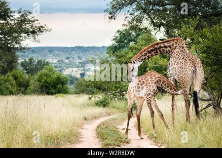 Eine Mutter, Southern African giraffe Giraffa Camelopardalis giraffa, Krankenschwestern und Krankenpfleger, die ihr Kalb, biegen den Hals als das Kalb säugt. Stockbild