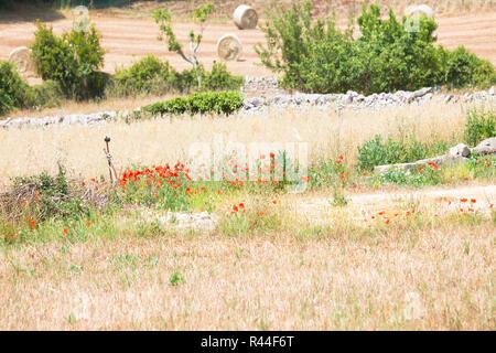Lecce, Apulien, Italien - Feld mit Heu und Roter Mohn Stockbild