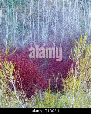 Weiden im Frühjahr mit Espe Bäume. . In der Nähe von John Day, Oregon Stockbild