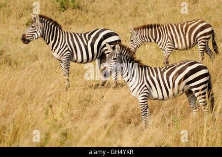 Zoologie/Tiere, Säugetiere (Mammalia), Zebras (Equus quagga) in der Nähe des grossen Tieres Migration, Stockbild