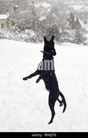 Box, Wiltshire, UK. 1. Feb. Ein Hund springt einen Schneeball geworfen, für die es auf das Gemeinsame zu fangen. Credit: Nick Upton/Alamy Leben Nachrichten. Stockbild