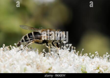 Hover-fly (Eristalis arbustorum) Beschickung von kretischer Oregano (Origanum onites), Lesbos/Lesbos, Griechenland, Mai. Stockbild