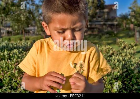 Jungen kleinen-3 jährige Hispanic-Caucasian junge Kind bläst flauschige Sämlinge fdandelion Puff. Kalifornien Vereinigte Staaten von Amerika © Myrleen Pearson........ Ferguson Cate Stockbild