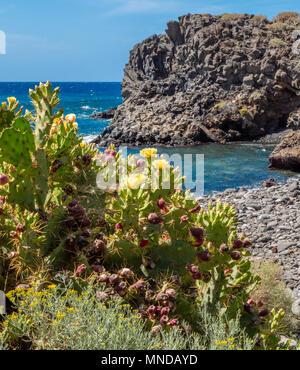 Gelb blühenden Prickly Pear cactus Opuntia dillenii stricta wächst an der felsigen Küste im Süden von Teneriffa auf den Kanarischen Inseln Stockbild