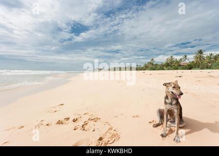Asien - Sri Lanka - induruwa - ein wilder Hund im sand sitzen Stockbild