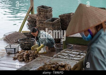 Vietnam, Golf von Tonkin, Provinz Quang Ninh, Ha Long Bay (Vinh Ha Long), Akoya, Tahitian und Southsea Zuchtperlen, Sortierung Austern Stockbild