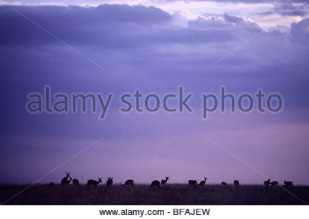 Impala Herde, Aepyceros Melampus, Masai Mara Reserve, Kenia Stockbild
