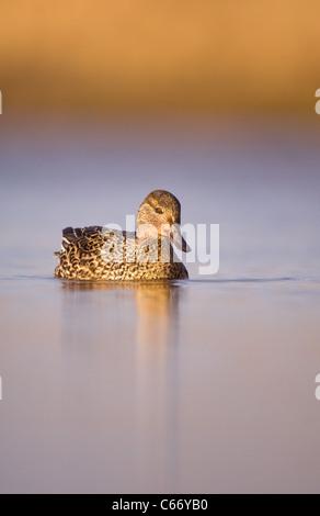 Petrol / Anas Vogelarten Porträt einer Erwachsenfrau auf einer ruhigen Lagune. Norfolk, Großbritannien. Stockbild