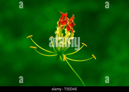 Afrikanisches Feuer Lily, visakhapatna, Andhra Pradesh, Indien, Asien Stockbild
