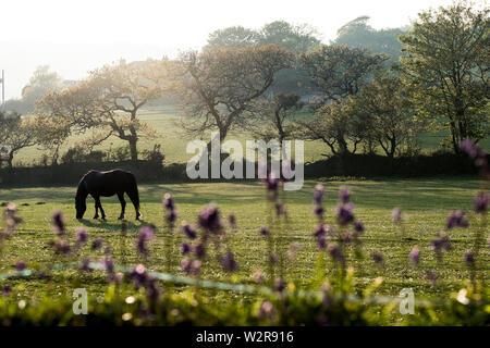 Pferd weiden auf einer Koppel mit Bäumen und Feld in den Hintergrund. Stockbild