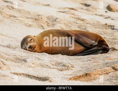 Seelöwe (Zalophus wollebaeki), Punta Carola Beach, San Cristobal (Chatham) Island, Galapagos, UNESCO-Weltkulturerbe, Ecuador, Südamerika Stockbild