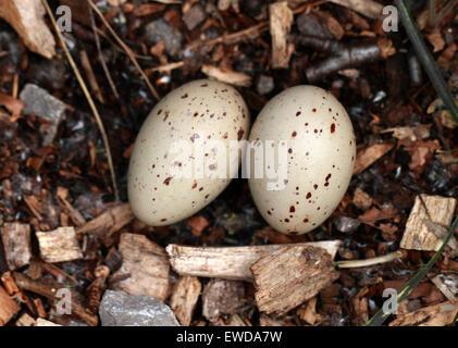 Teichhuhn Eiern, Gallinula Chloropus, Rallidae. Stockbild