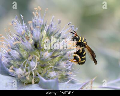 Parasitoiden Wasp (Leucospis gigas) Fütterung auf Sea Holly Blumen (Eryngium maritimum) auf einem Strand, Sardinien, Italien, Juni. Stockbild