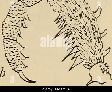 . Annalen der South African Museum = Annale van sterben Suid-Afrikaanse Museum. Natural History. Abb. 48.- Adaeum asperatum. a, palp von der Innenseite; b, palp von der Außenseite (von Roewer kopiert). tarsal Segmente 3: 10:4:4. Farbe der Körper eine schmutzig Rotbraun, hautanhangsgebilde ein wenig leichter. Messungen. - Länge des Körpers 6, PÉDIPALPES 6, Beine 6-5: 9:7:9. Südafrika, Ort nach Pocock wahrscheinlich Port EHzabeth. Typ 1{^?), im Berliner Museum. Die Abbildung von Roewer stellt aller Wahrscheinlichkeit ein $. Adaeum ohtectum Loman. (Text-Bild. 49, a - e.) 1898. Loman, Zool. Jahrb. Syst., II, S. 1). Stockbild
