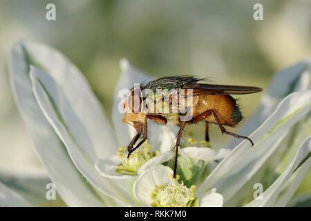 Schmeißfliege (Rhyncomya sp.) Fütterung auf Vielfarbige Wolfsmilch (Euphorbia marginata) Blumen, Lesbos/Lesbos, Griechenland, August. Stockbild