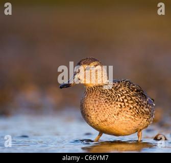 Petrol / Anas Vogelarten Profil einer Erwachsenfrau am Rande der flachen Gezeiten-Lagune. Norfolk, Großbritannien. Stockbild