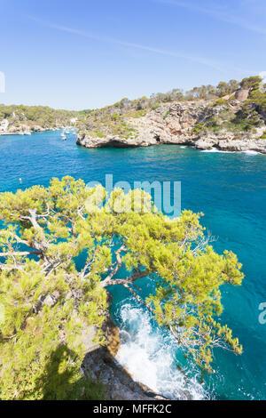 Cala Figuera de Santanyi, Mallorca, Spanien - einem riesigen alten Baum oberhalb der Klippen von Santanyi Stockbild