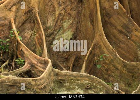 Die stützpfeiler Wurzeln eines Ficus Baum im Dschungel, Quebrada Valencia, Magdalena, Kolumbien Stockbild
