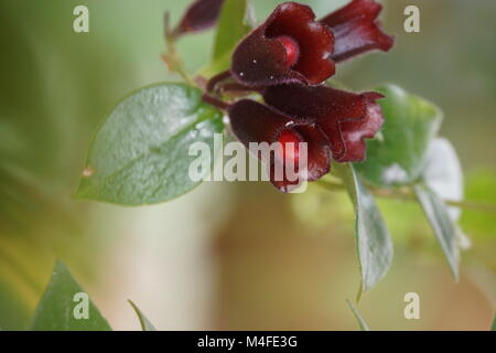 Aeschynanthus speciosus Stockbild